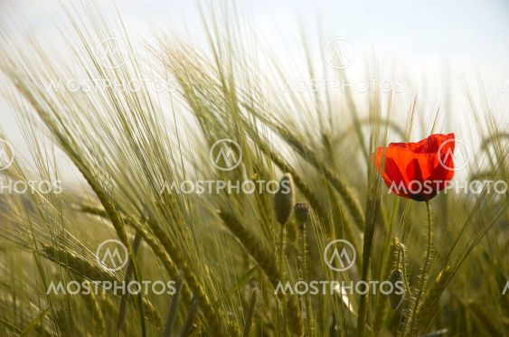 Poppy and Wheat