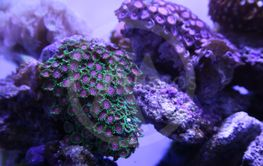 Green coral on coral reef