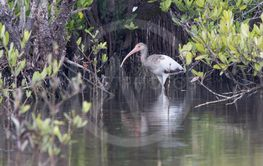 young American white ibis that walks in the shallow water...