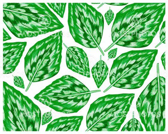 Illustration of Fresh Kaempferia Elegans Leaves Background