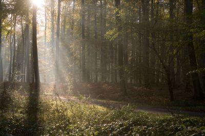 france, forêt de Lyons : soleil entre les hêtres