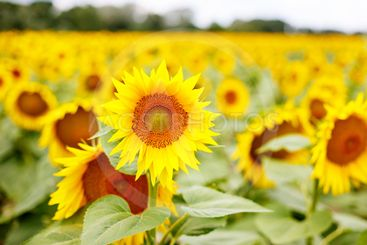 Sunflower field, Provence in southern France.