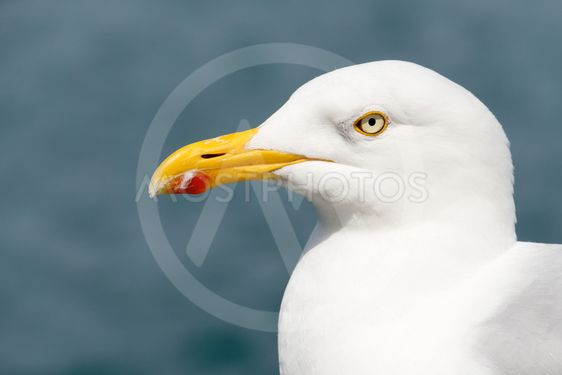 Common gull or seagull