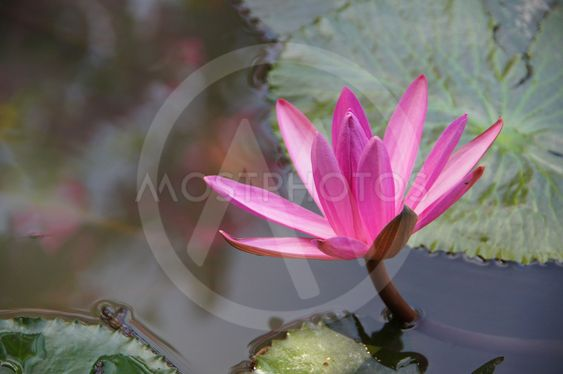 Water lily flower lotus t by noppharat mostphotos water lily flower lotus the lotus flower water lily is national flower mightylinksfo