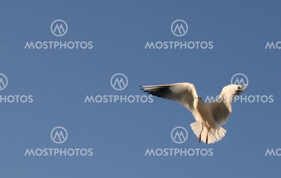 Seagull in flight against a clear blue sky