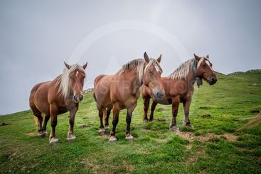 Three brown horses on a foggy hill.