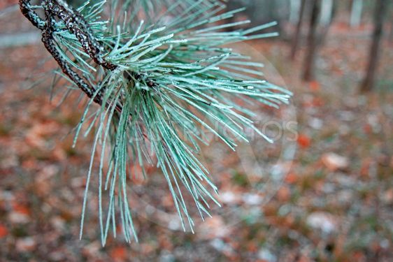 Snow laying on the green pins of Christmas tree