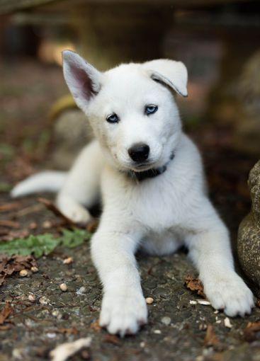 Retrato husky siberiano blanco mirando a la cámara