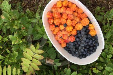 hjortron och blåbär