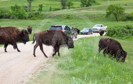 Bison Crossing a Road