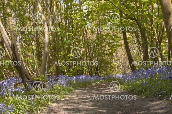 Woodland Bluebells