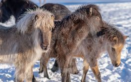Group of Icelandic horse foals with long winter fur