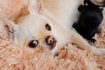 mom Chihuahua feed newborn puppies breast milk.