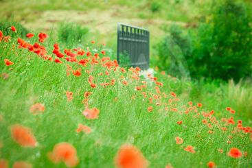 Red poppies in sunny summer meadow