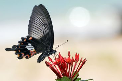 vibrating butterfly 2