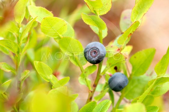 summer's first ripe blueberries
