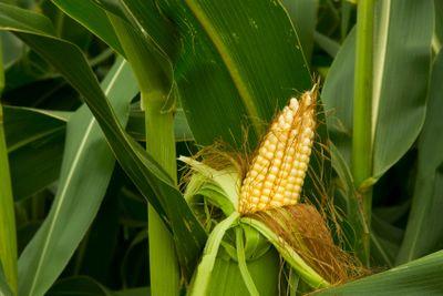corn cob on stalk