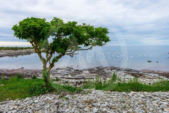 Ensamt träd på Skåneleden