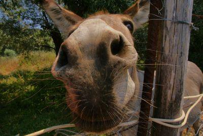Curious greek donkey