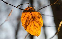 Sista lövet på ett bokträd