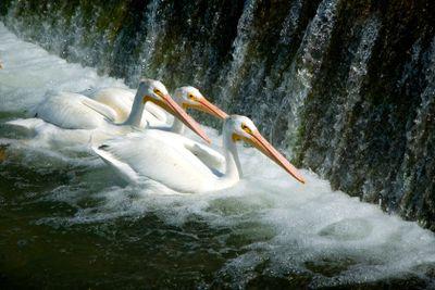 White American Pelicans