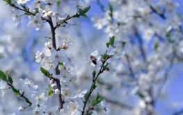 Spring flowers blooming fruit tree wallpaper