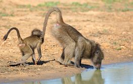 Chacma baboon with young drinking water