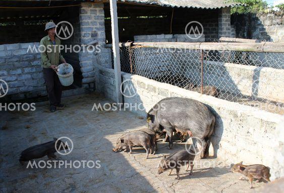 Vietnamese farmer to feed Wild pigs by cassava