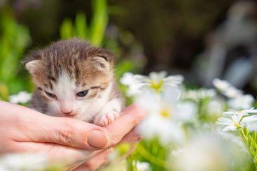 cute newborn kitten meows in hands of a person in...