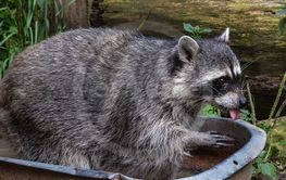 Funny raccoon rodent bathing n water