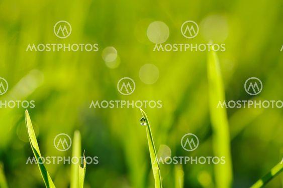 Morgonen gräs