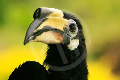 Oriental Pied Hornbill, Sepilok, Borneo, Malaysia