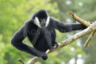 Gibbon Up A Tree