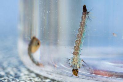 Mosquito pupa and larva