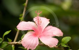 Hibiscusflower, pink