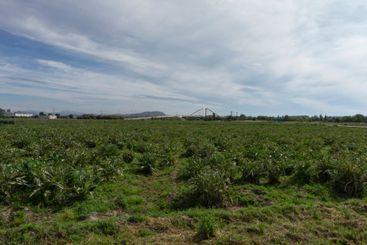 Artichoke plantation on a farm on the outskirts of...