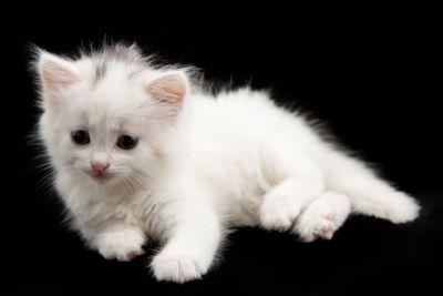 little white kitten  on a black background