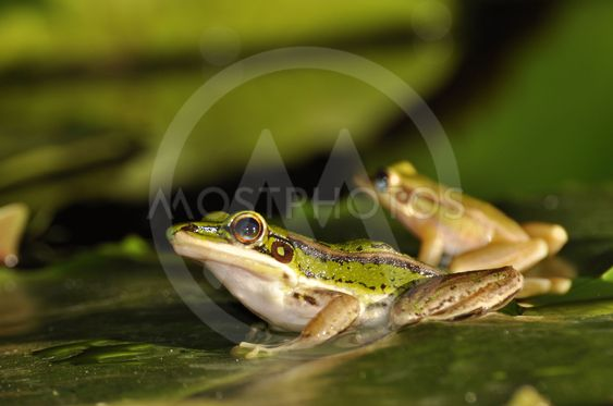 Two Green Paddy Frog profiles on waterlily leaf