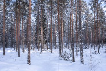 Panorama view of beautiful pine forest in winter