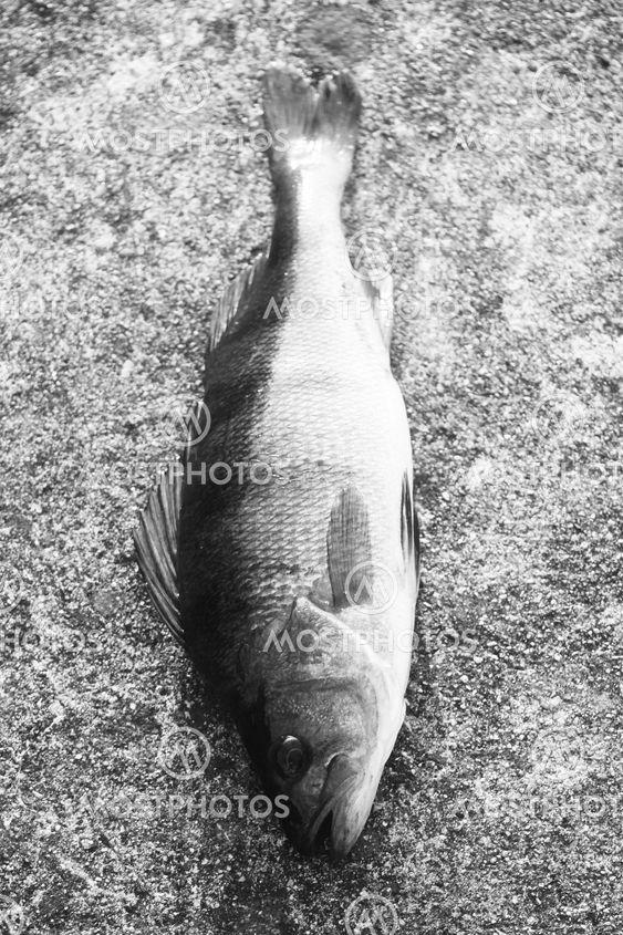 Abborren, fiske