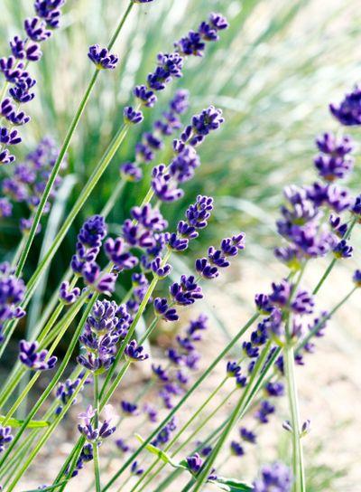flowering lavandula shub