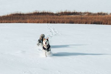 Two purebred huskies running in the snow, dogs in...