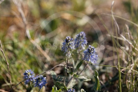 Plants of prostrate speedwell, Veronica prostrata