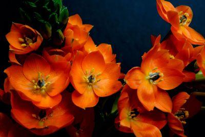 Orange Perennial Flower
