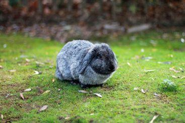 Relaxing grey rabbit