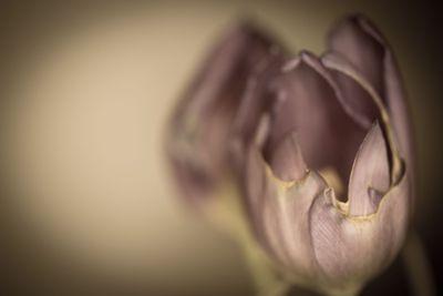 Torn Tulip