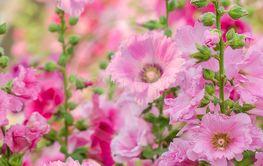 Pink hollylhock