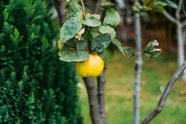 Yellow quince fruit on a tree. Organic natural quince...