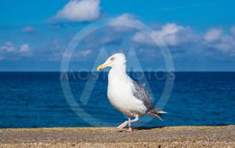 Sea gull on the Baltic Sea coast in Warnemuende, Germany