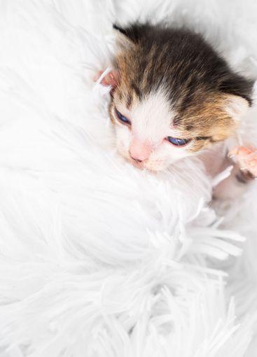 small newborn kitten on a white fluffy blanket. Pets